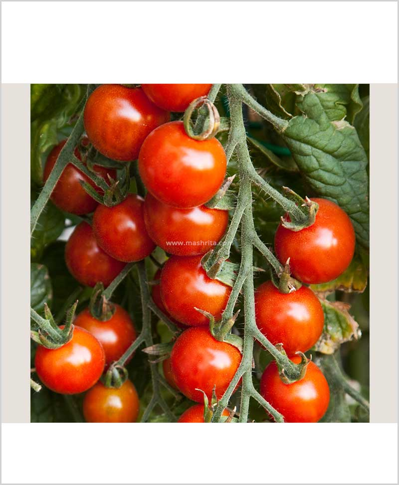 Cherry Tomato Red Plant (Imported High Yielding) 10 Inch Bag