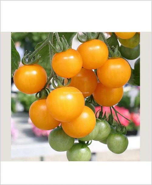 Cherry-Tomato-Yellow-Plant-(Imported-High-Yielding)-10-Inch-Bag