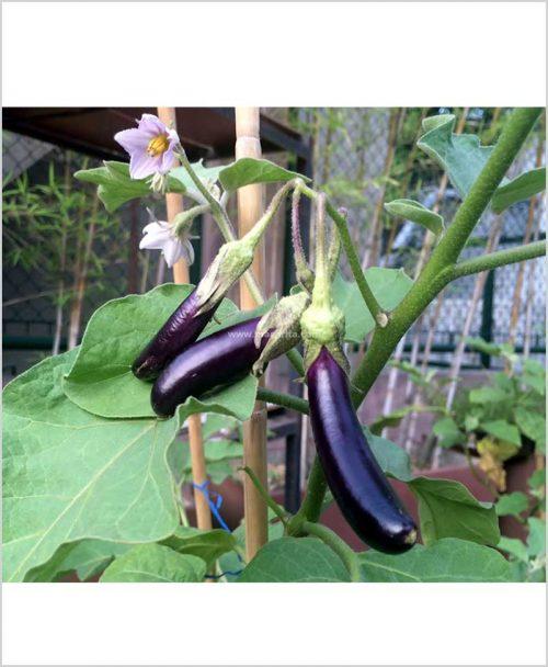 Eggplant-Plant-(Brinjal)-10-Inch-Bag