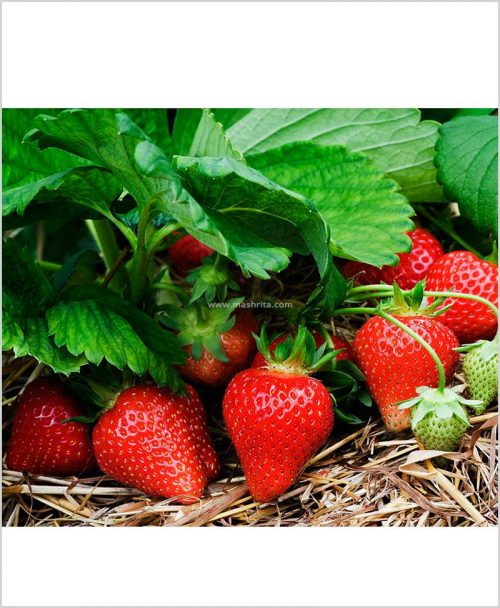 Strawberry-Plant-(Tissue-Culture-High-Yielding)-10-Inch-Bag
