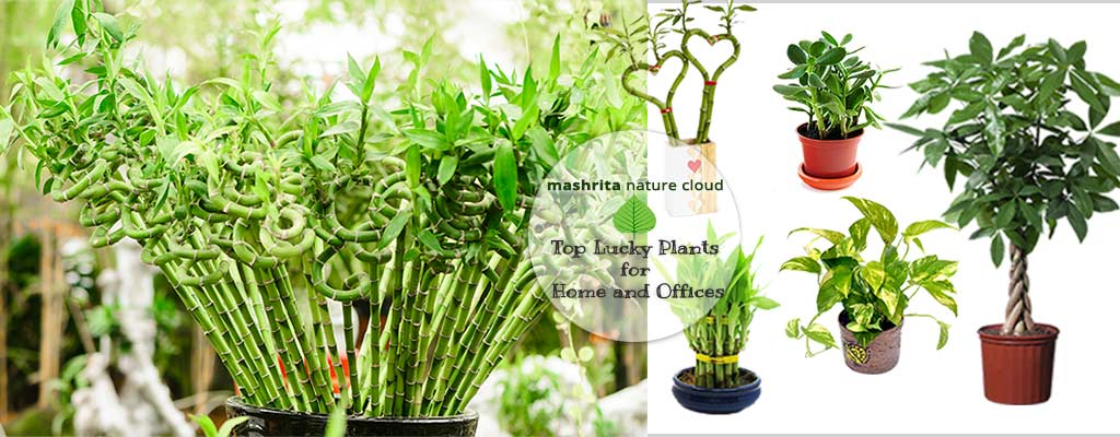 Top lucky plants for home and offices on order birds of paradise plant, zamiifolia house plant, spider house plant, fig house plant, houseplants plant, croton house plant, banana house plant, cast iron plant, rubber house plant, hydrangea house plant, peperomia house plant, fern house plant, zi zi plant, arrowhead house plant, umbrella house plant, avocado house plant, eternity plant, house plant identification succulent plant,