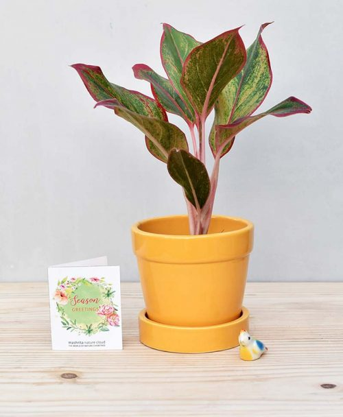 Ceramic Band Pot Mustard Yellow with Agalaonema Red