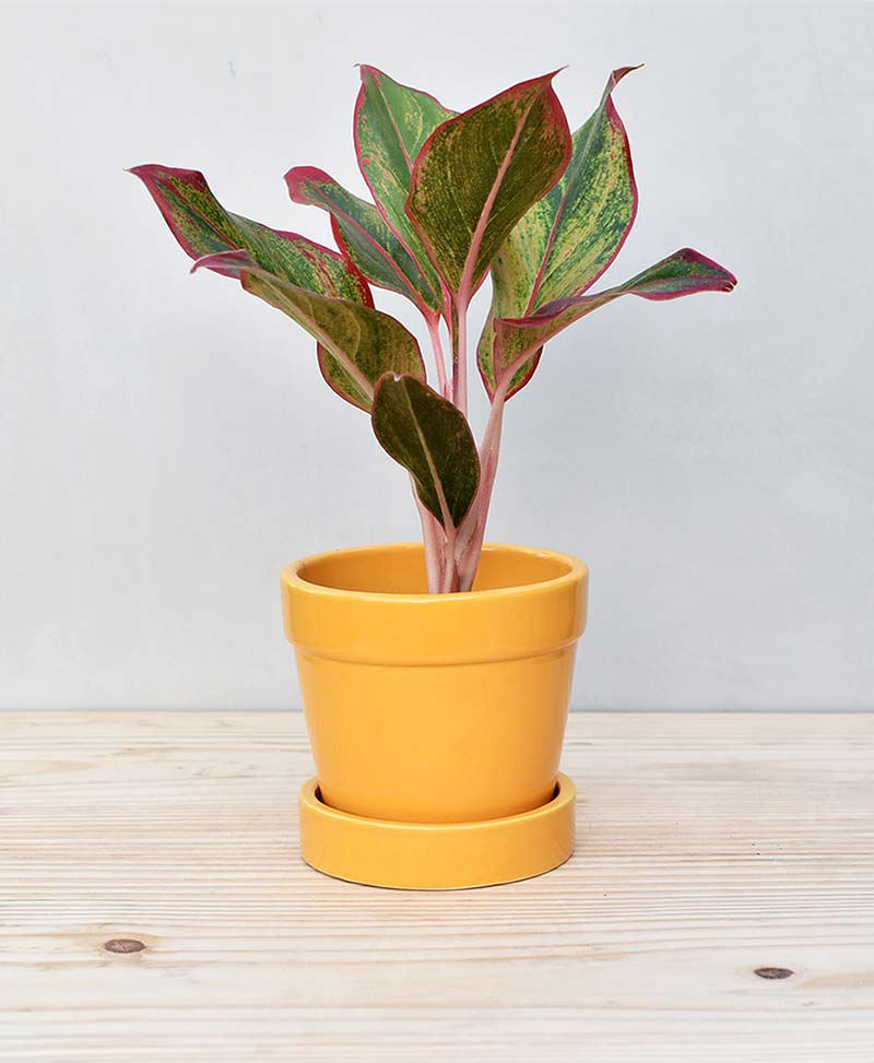Ceramic Band Pot Mustard Yellow with Aglaonema Red