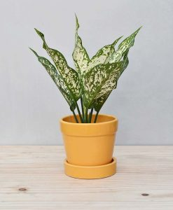 Ceramic Band Pot Mustard Yellow with Aglaonema Snow 2