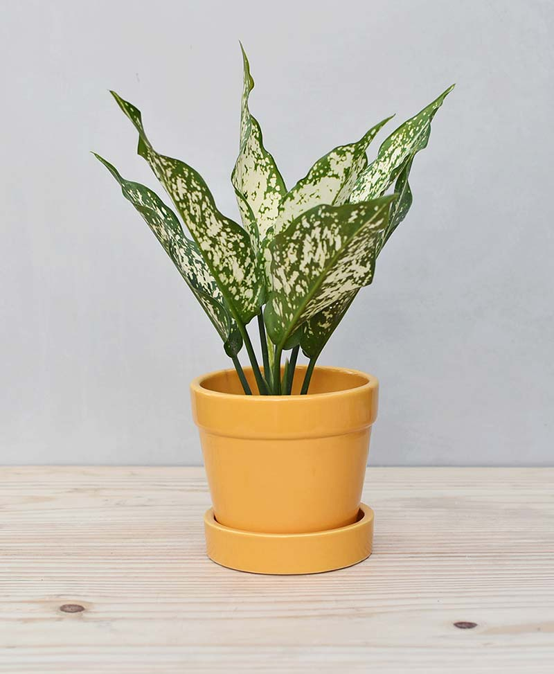 Ceramic Band Pot Mustard Yellow with Aglaonema Snow