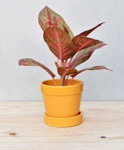 Ceramic Band Pot Mustard Yellow with Aglaonema Valentine 2