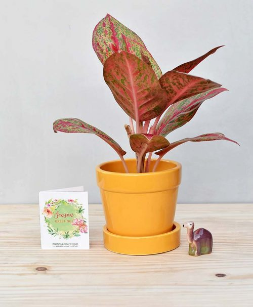Ceramic Band Pot Mustard Yellow with Aglaonema Valentine