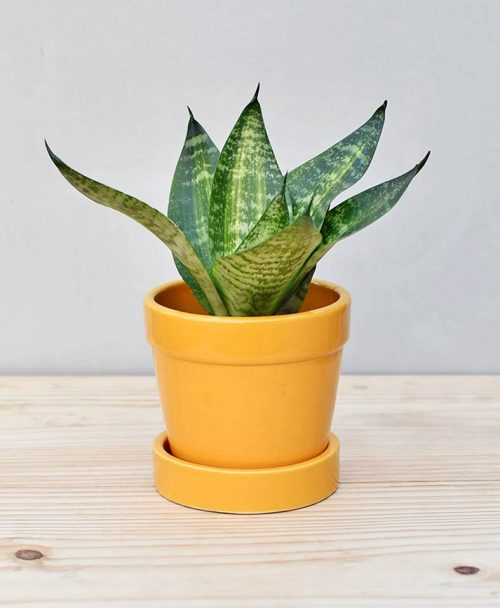 Ceramic Band Pot Mustard Yellow with Snake Plant Compacta