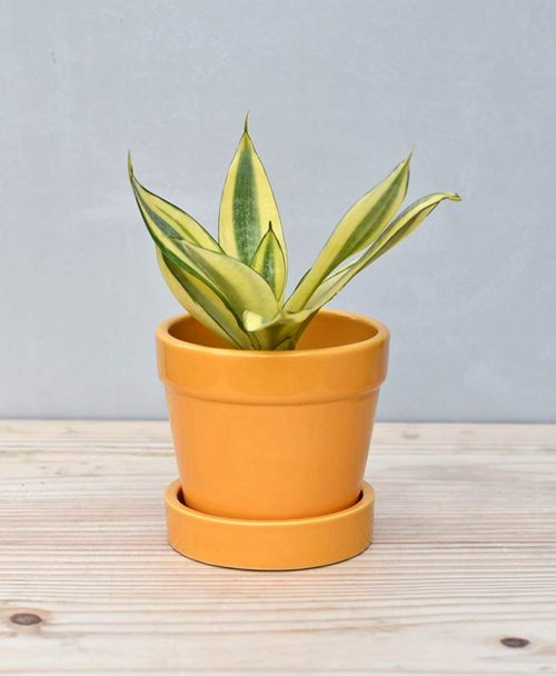 Ceramic Band Pot Mustard Yellow with Snake Plant Gold
