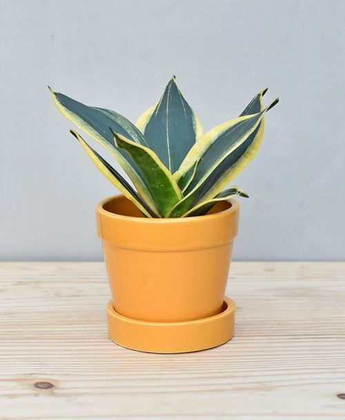 Ceramic Band Pot Mustard Yellow with Snake Plant Gold Stripe
