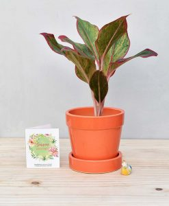 Ceramic Band Pot Orange with Aglaonema Red