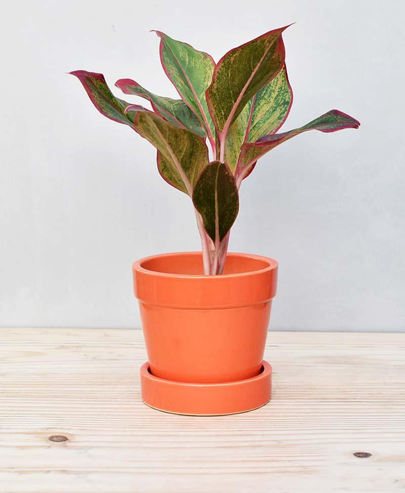 Ceramic Band Pot Orange with Aglaonema Red