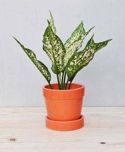 Ceramic Band Pot Orange with Aglaonema Snow 2