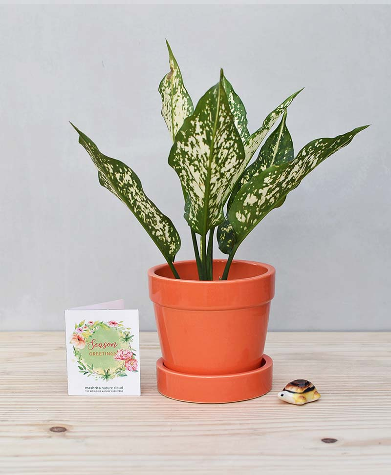 Ceramic Band Pot Orange with Aglaonema Snow