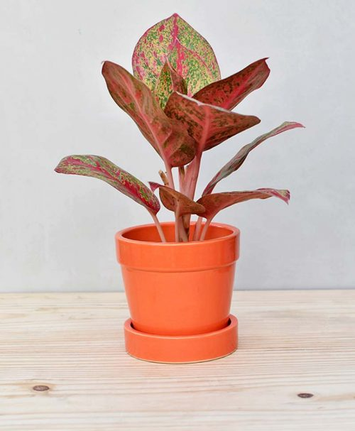 Ceramic Band Pot Orange with Aglaonema Valentine 2