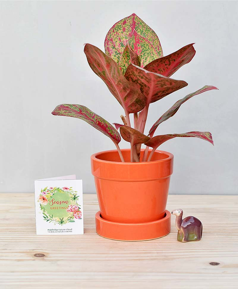 Ceramic Band Pot Orange with Aglaonema Valentine