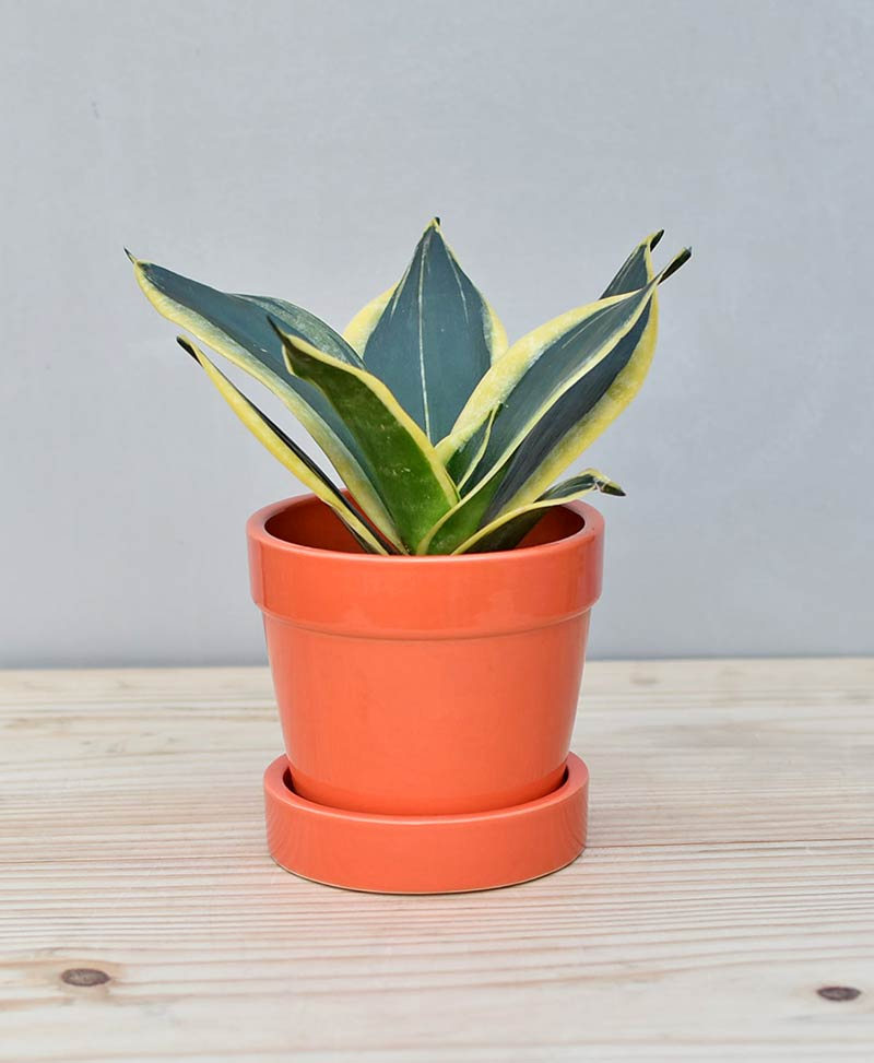 Ceramic Band Pot Orange with Snake Plant Gold Stripe