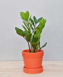 Ceramic Band Pot Orange with ZZ Plant 2