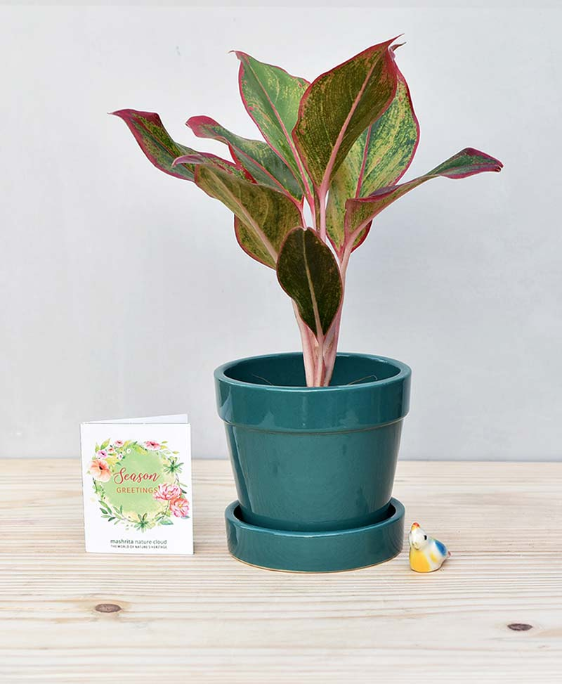 Ceramic Band Pot Peacock Blue with Aglaonema Red