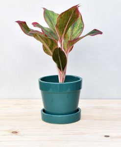 Ceramic Band Pot Peacock Blue with Aglaonema Red 2