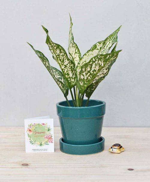 Ceramic Band Pot Peacock Blue with Aglaonema Snow