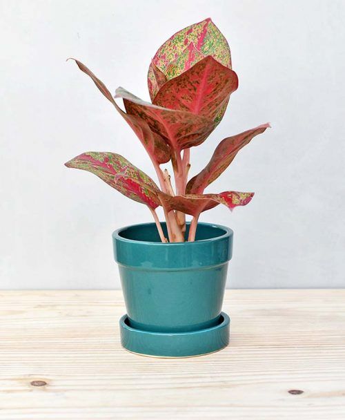 Ceramic Band Pot Peacock Blue with Aglaonema Valentine 2