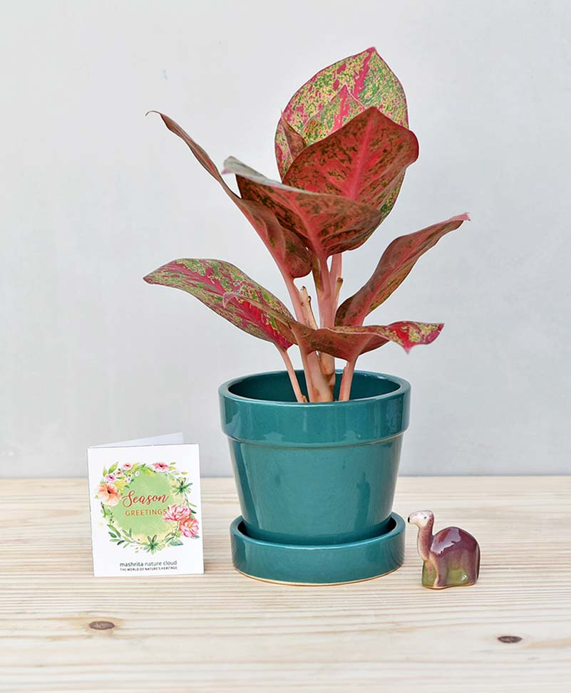 Ceramic Band Pot Peacock Blue with Aglaonema Valentine