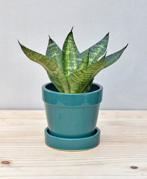 Ceramic Band Pot Peacock Blue with Snake Plant Compacta