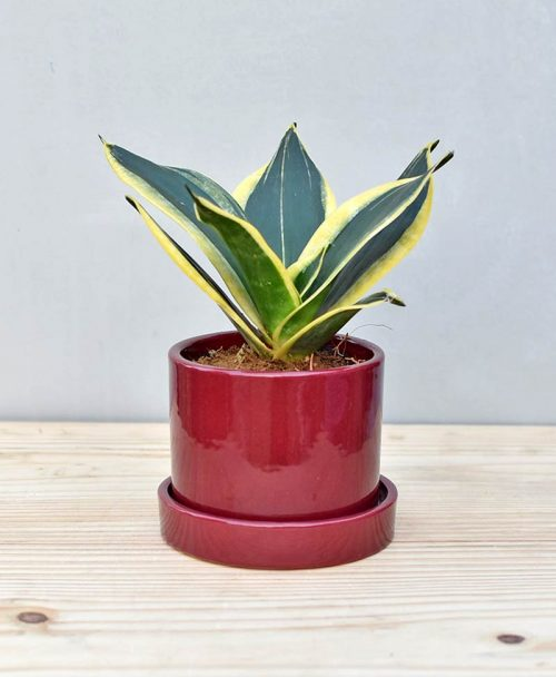 Ceramic Cylindrical Pot Maroon with Snake Plant Gold Stripe