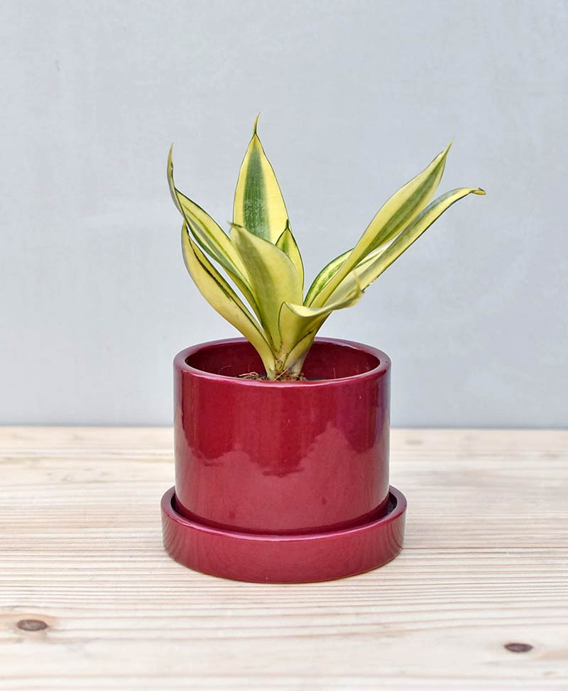 Ceramic Cylindrical Pot Maroon with Snake Plant Gold