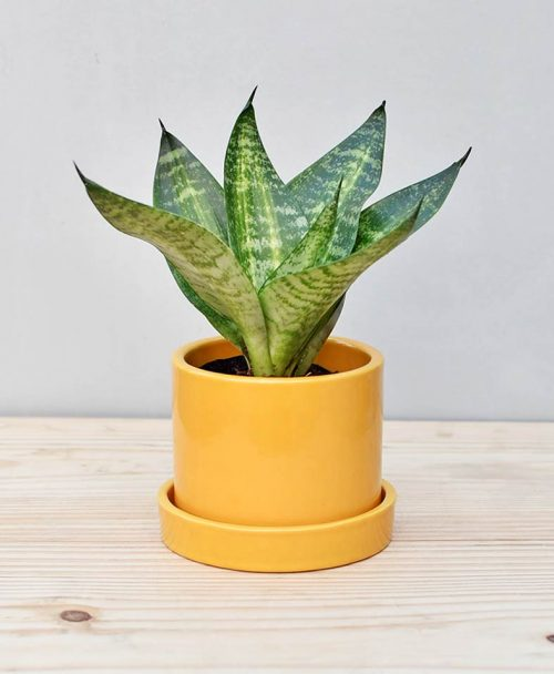 Ceramic Cylindrical Pot Mustard Yellow with Snake Plant Compacta
