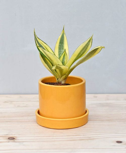 Ceramic Cylindrical Pot Mustard Yellow with Snake Plant Gold