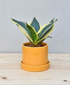 Ceramic Cylindrical Pot Mustard Yellow with Snake Plant Gold Stripe