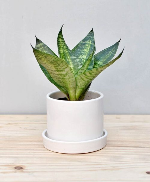 Ceramic Cylindrical Pot White with Snake Plant Compacta