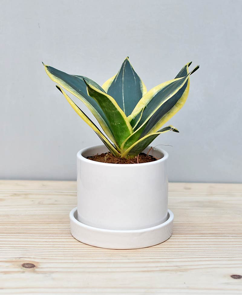 Ceramic Cylindrical Pot White with Snake Plant Gold Stripe