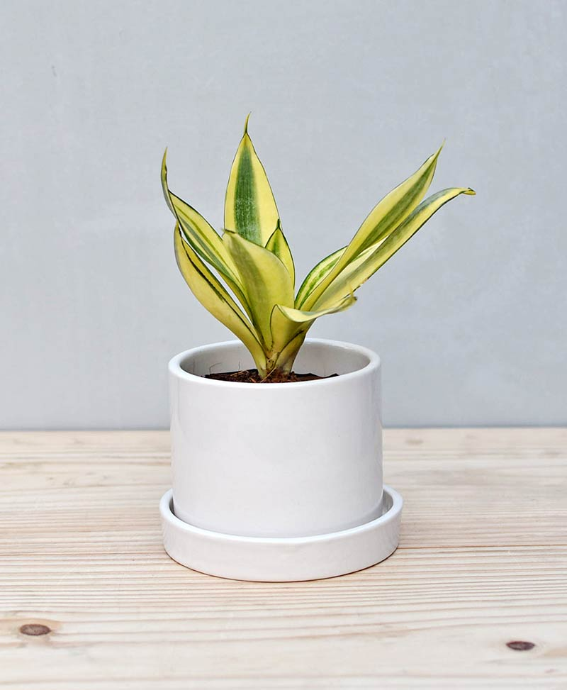 Ceramic Cylindrical Pot White with Snake Plant Gold