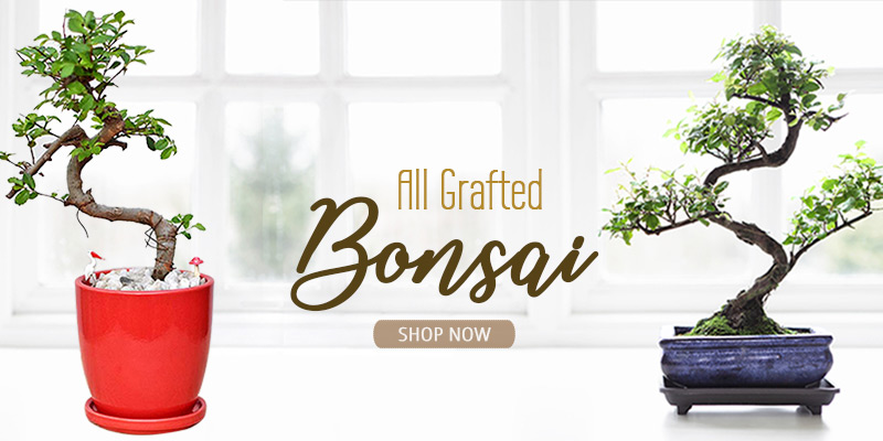 Shop Bonsai Plants Online India
