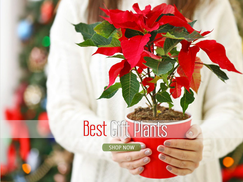 Shop Best Gift Plants Online Gurgaon Delhi Noida