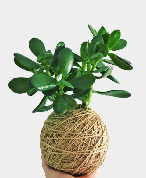 Kokedama of Money Tree