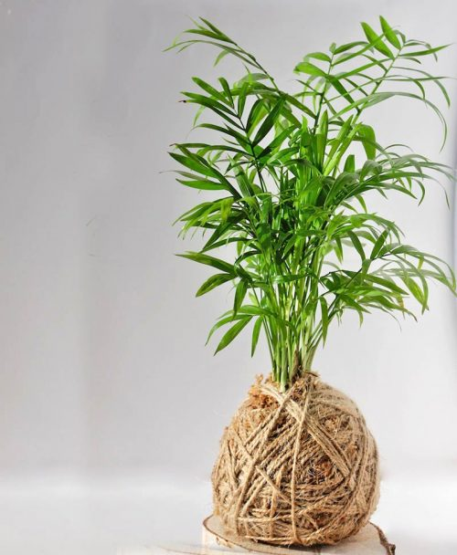 Kokedama of exotic dwarf bamboo palm