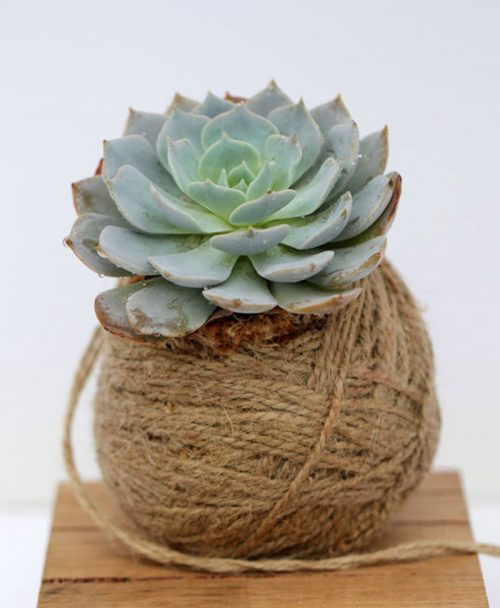 Kokedama of Echeveria