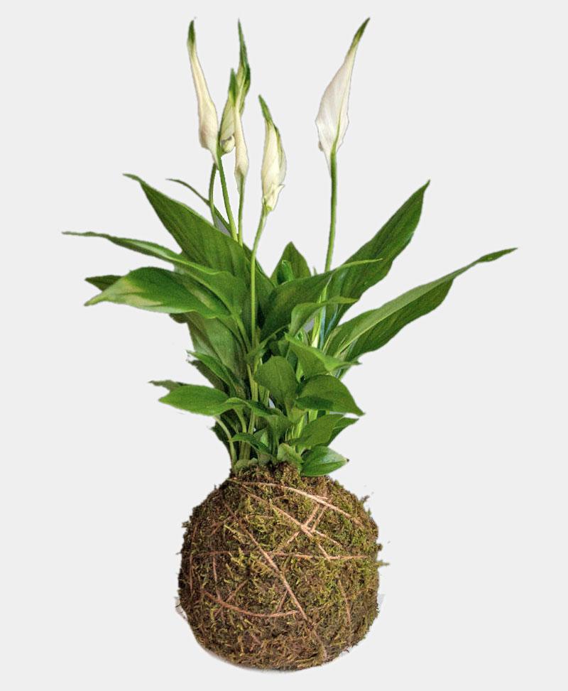 Kokedama of exotic peace lily