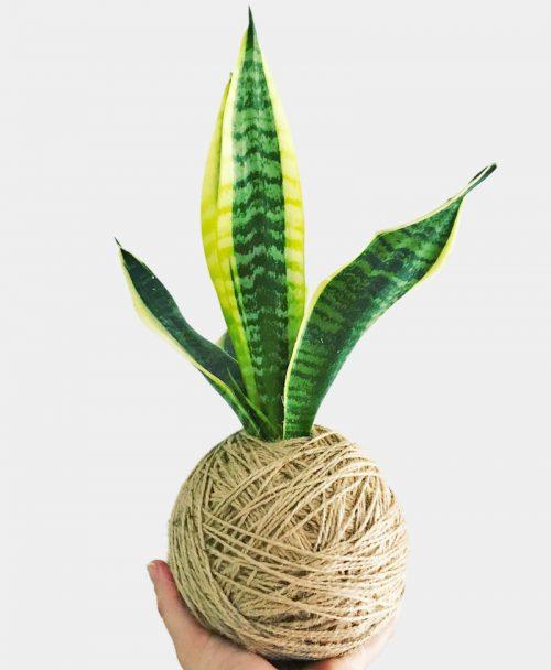 Kokedama of Exotic Snake Plant
