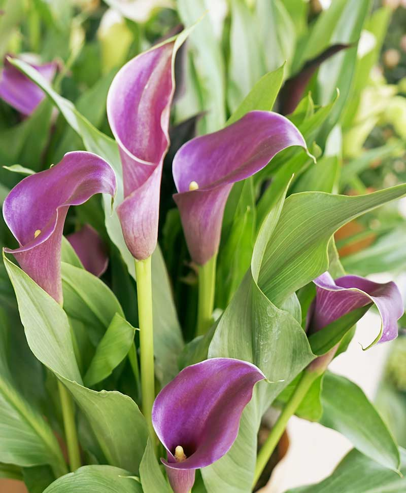 Calla Lily Purple