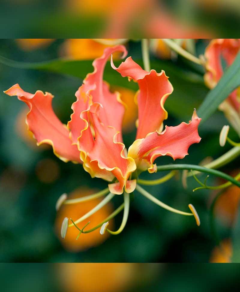 Gloriosa Orange Glory