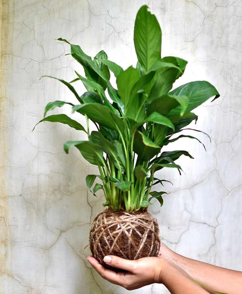Kokedama Exotic Peace Lily