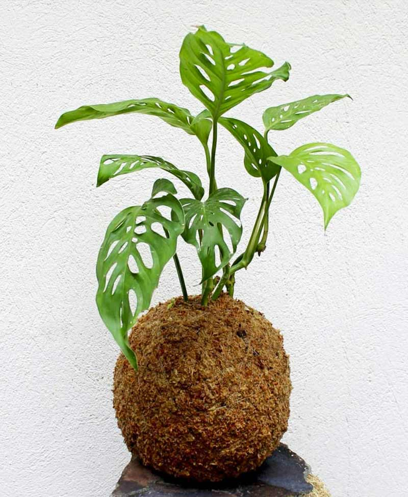 Kokedama of Monstera Obliqua