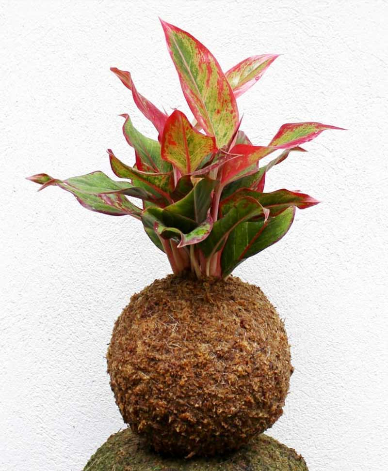 Kokedama of Red Aglaonema