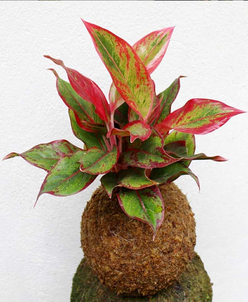 Red Aglaonema Kokedama