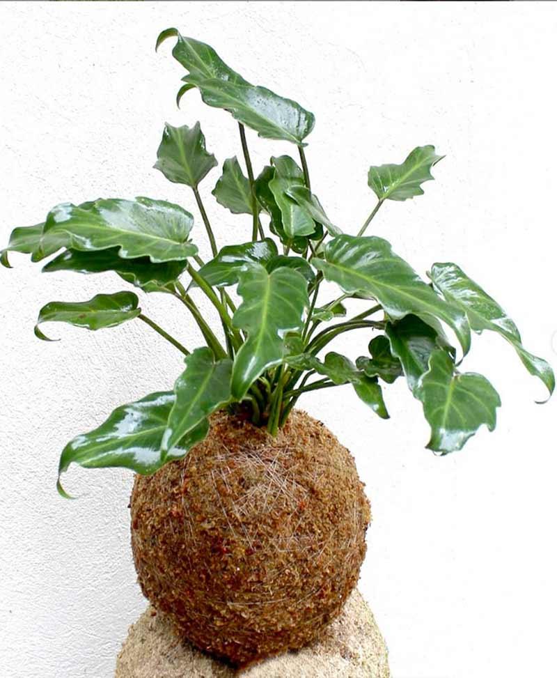 Kokedama of Philodendron Xanadu